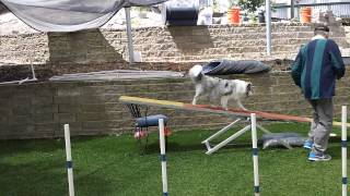 Dog Agility Training  Learning the Teeter  Seesaw
