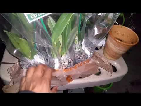 Two Better-Gro Species Cattleya Orchid Haul - YouTube