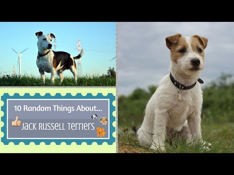 10 Random Things About...Jack Russell Terriers