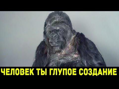 видео: ВЫ НЕ ПОВЕРИТЕ, ЧТО ГОВОРИТ ЭТА ГОРИЛЛА!