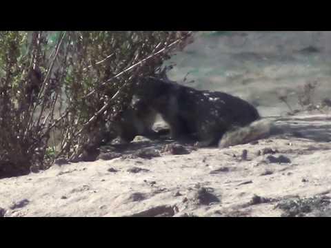 North American Wildlife --- Ground Squirrel hi-jinx & alarm call