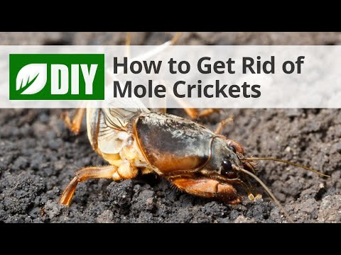 how to get rid of mole crickets youtube