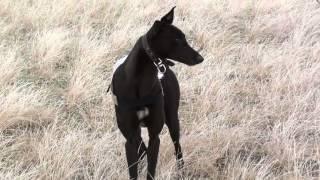 Подборка моментов охот с грейхаундами на зайцев