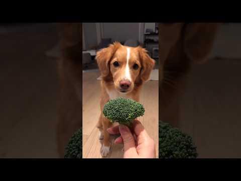 Dog Moxie doing a burrito for broccoli!