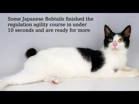 Japanese Bobtail: solid, muscular, bunny tail