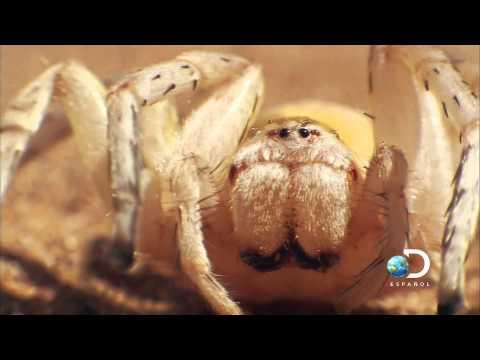 Africa Wheel Spider