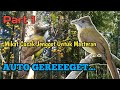 Mikat Burung Cucak Jenggot Di Alam Bebas  Mp3 - Mp4 Download