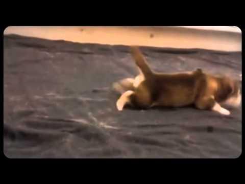 בנפט גורי אלסקן מלמוט - YouTube WY-38