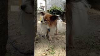愛犬パピヨンと過ごす平凡な日常風景です。
