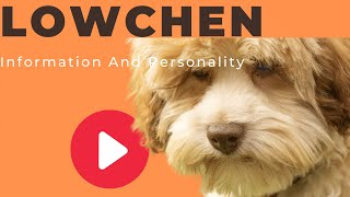 Dogs: Lowchen Dog Breed Information And Personality