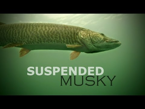 Suspended Musky — Angling Edge TV