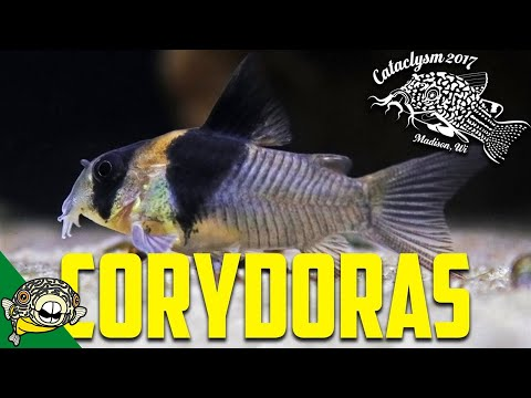 How to Breed Corydoras! by Eric Bodrock at Cataclysm 2017
