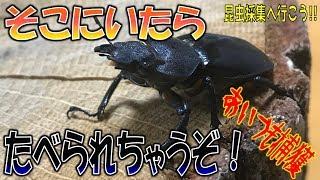 クワガタ&カブトムシ☆昆虫採集2017 カラスのエサになる前に…】(くろね...