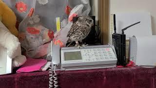電話番をするフクロウ