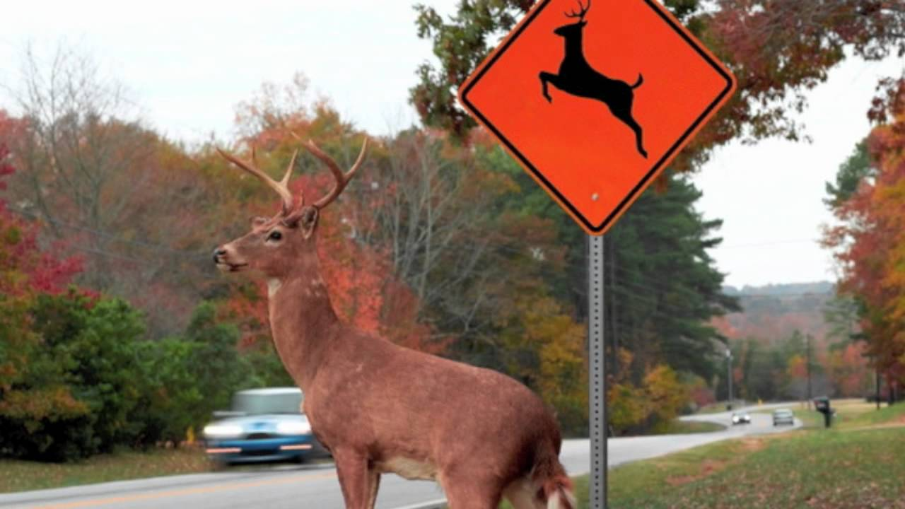 Please Move The Deer Crossing Youtube