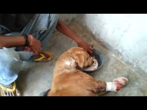 Amazing rescue & recovery of dog hit by train who lost front legs but learns to walk on two!