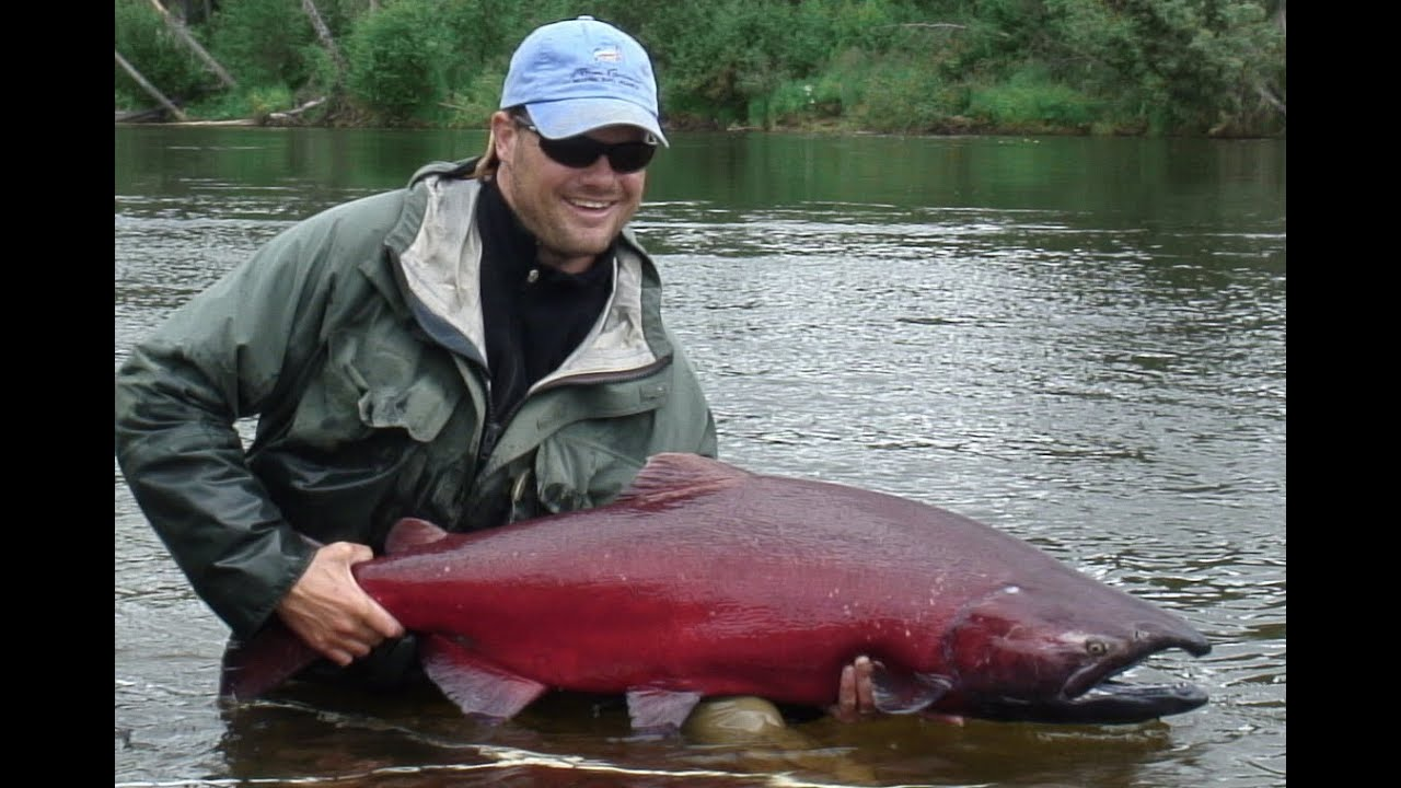 Huge 40lb king salmon on fly royal coachman lodge in for King salmon fishing alaska