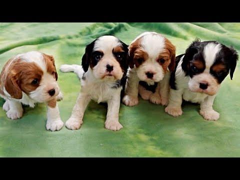 4 Week Old Cavalier Puppies!!