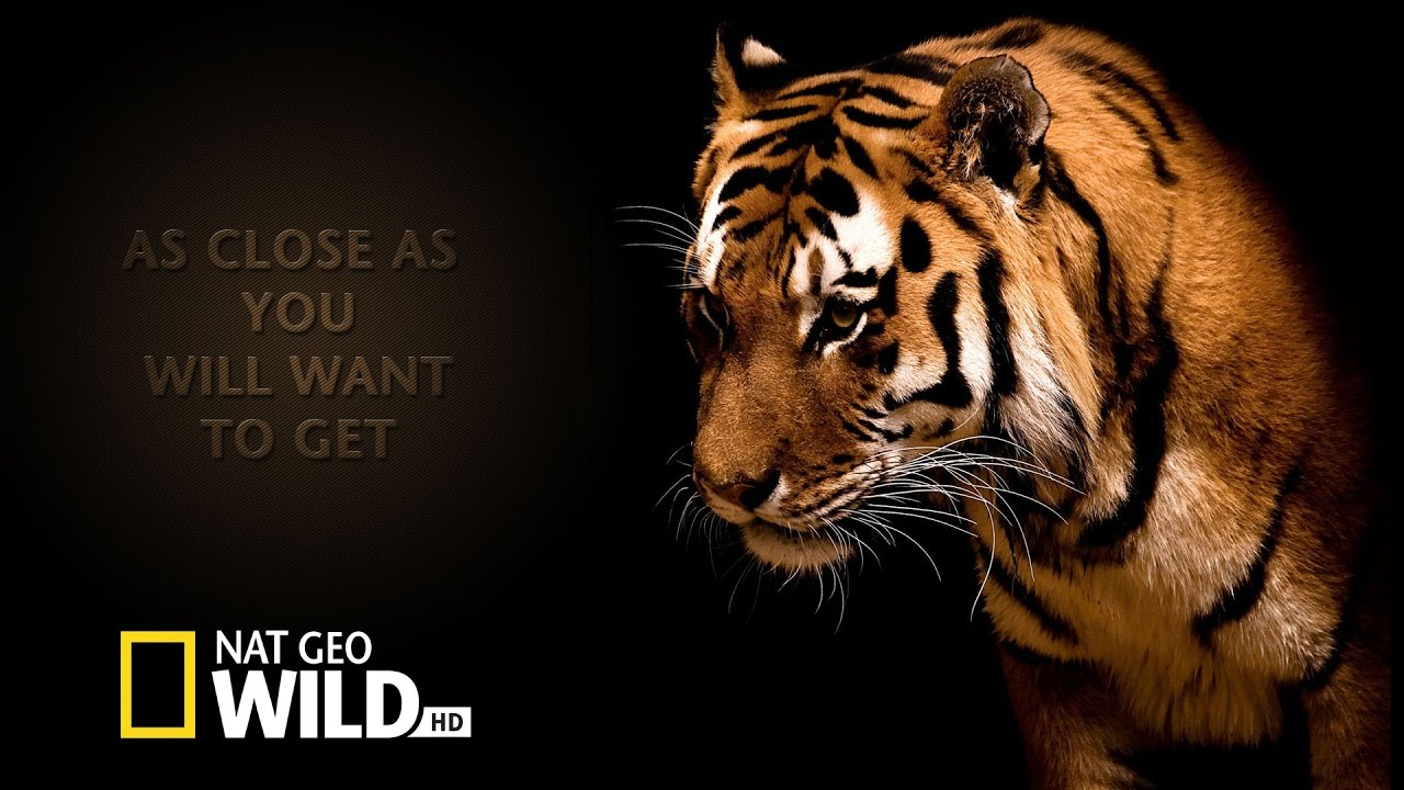 Tier dokumentarfilm big five asien der amur tiger doku - National geographic wild wallpapers ...
