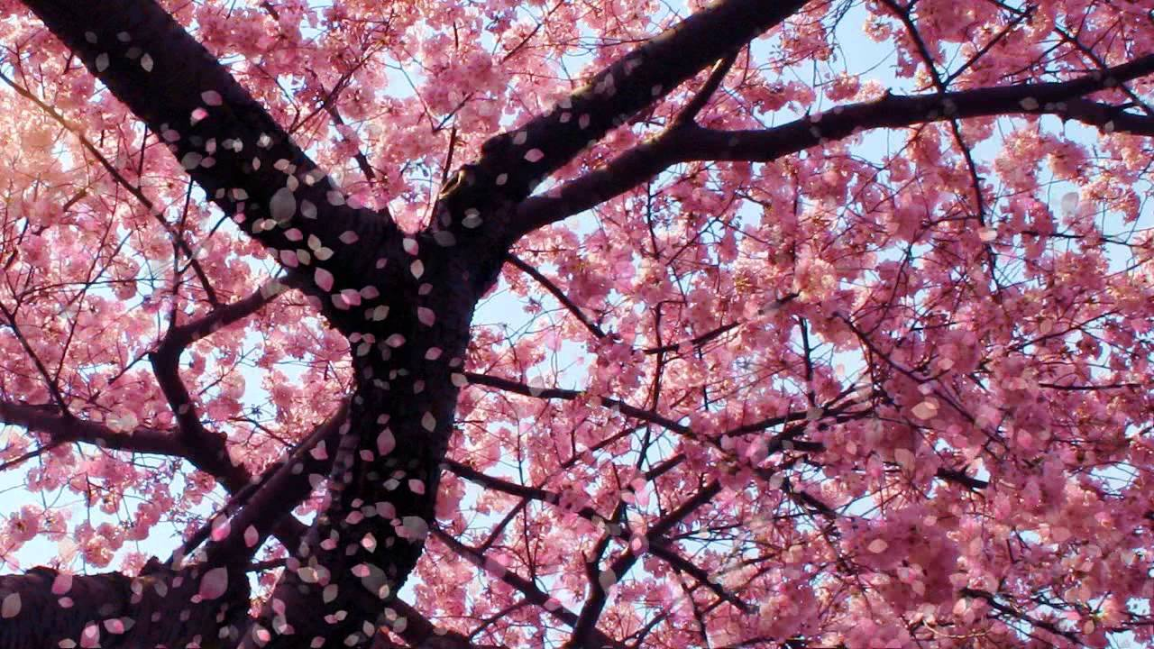 Wallpapers Cherry Blossom Cherry Blossom Animated Wallpaper