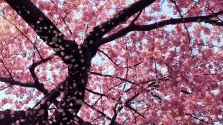 Cherry Blossom Animated Wallpaper Youtube
