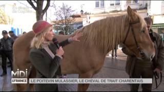 ANIMAUX : Le poitevin mulassier, le cheval de trait charentais