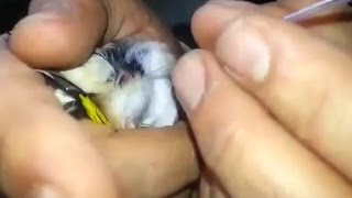 التلقيح الاصتناعي للطيور