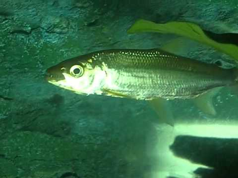Tiger Fish Jaw