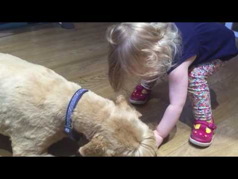 Wheaten Terrier Fed By Daughter (Very Cute!)