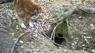 Pixy Cairn Terrier Revient De Visite Chez Ces Amis Les Renards