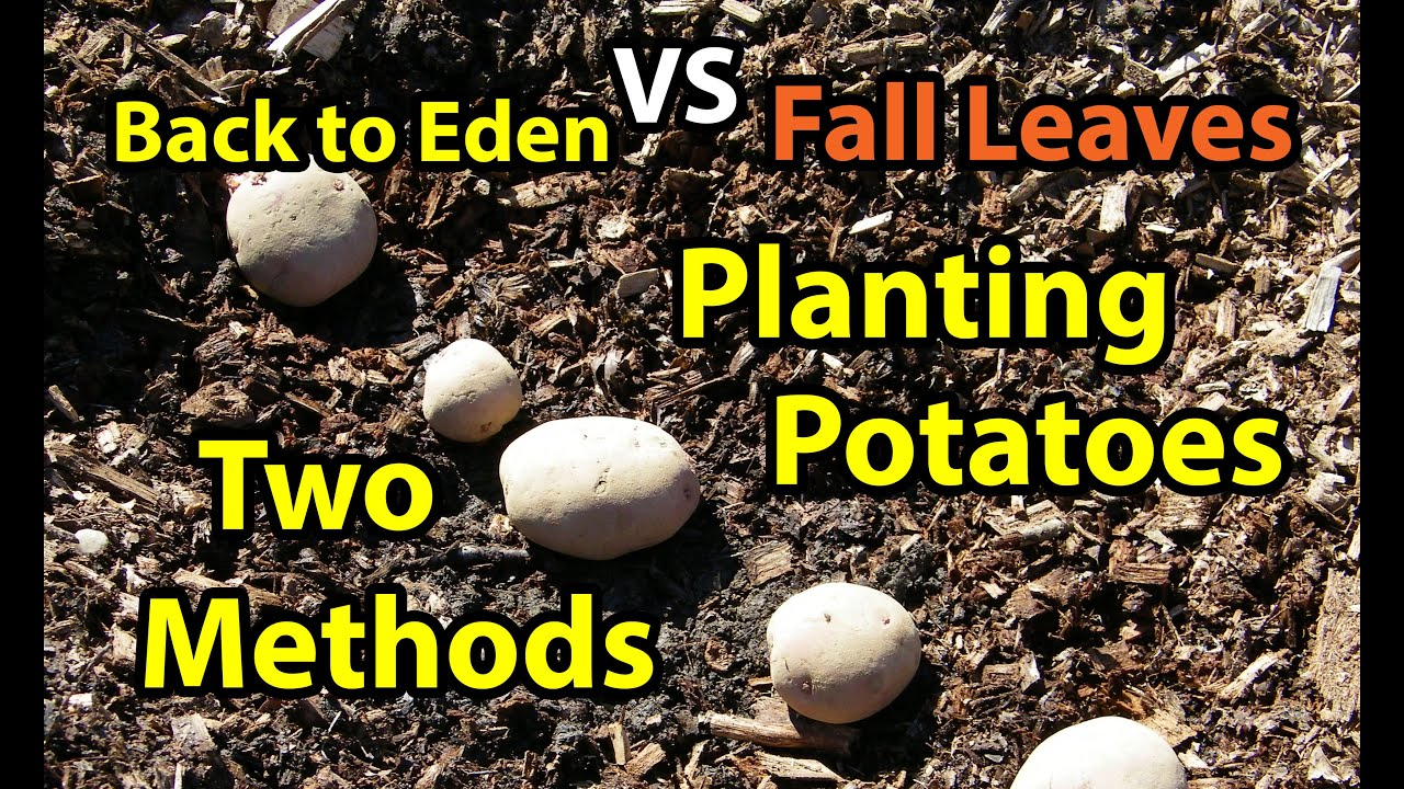 Planting Potatoes Back To Eden Gardening Organic Method In Wood Chips Composting Leaves