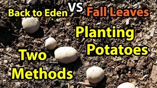 Planting Potatoes - Back to Eden Gardening Organic Method in Wood Chips & Composting Leaves