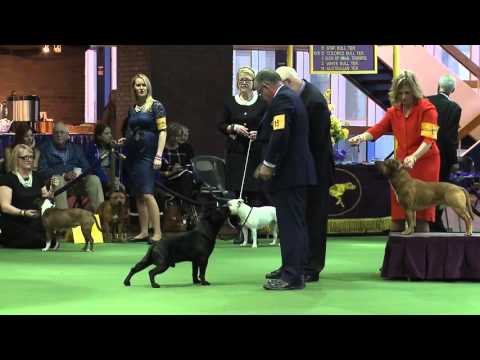 Staffordshire Bull Terrier Westminster Kennel Club Dog Show 2016