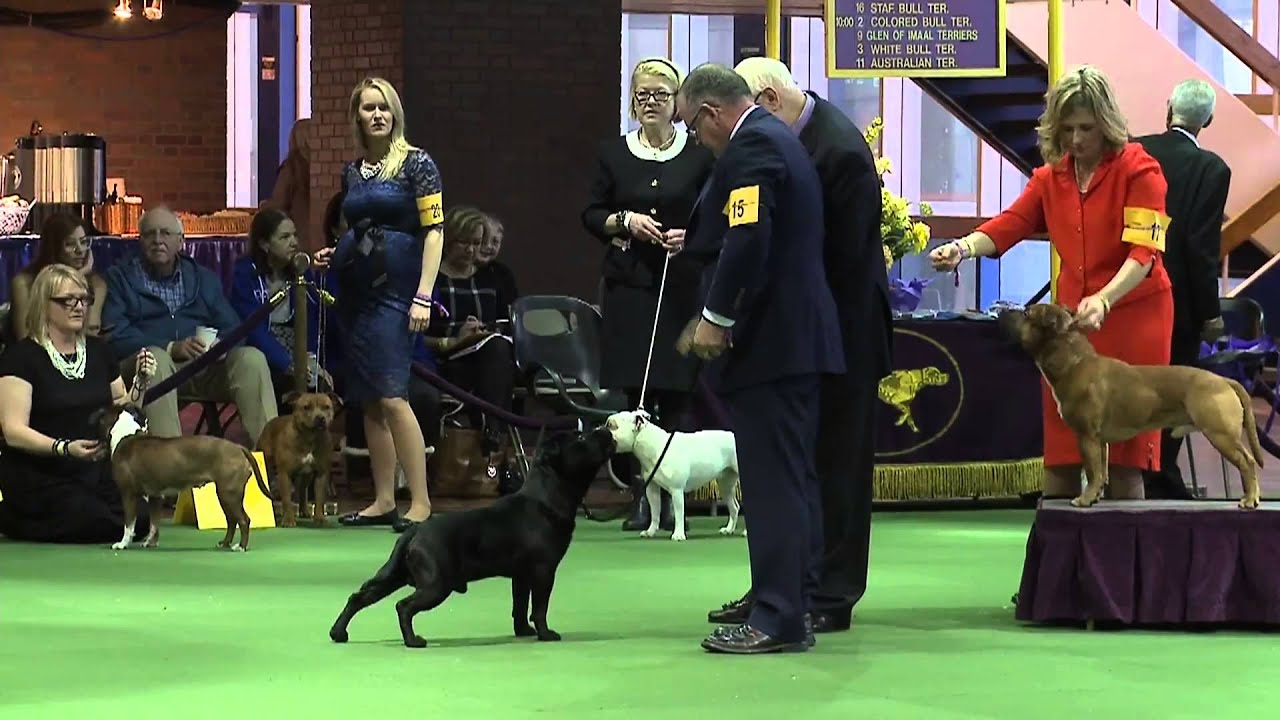 Staffordshire Bull Terrier Westminster Kennel Club Dog Show 2016 Youtube