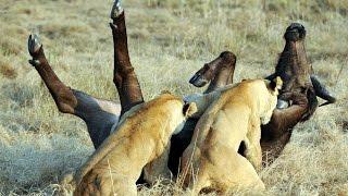 Epic Ambush - Lions Attack Buffalo - Duba Plains