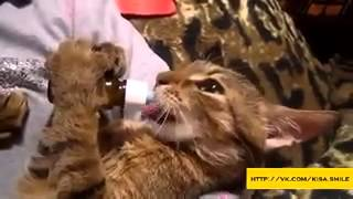 Валерьянка для кота