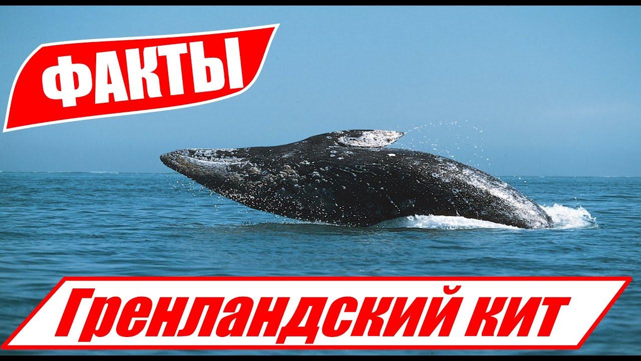 Гренландский кит: Второй после Синего. Гигантский пожиратель с крайнего севера