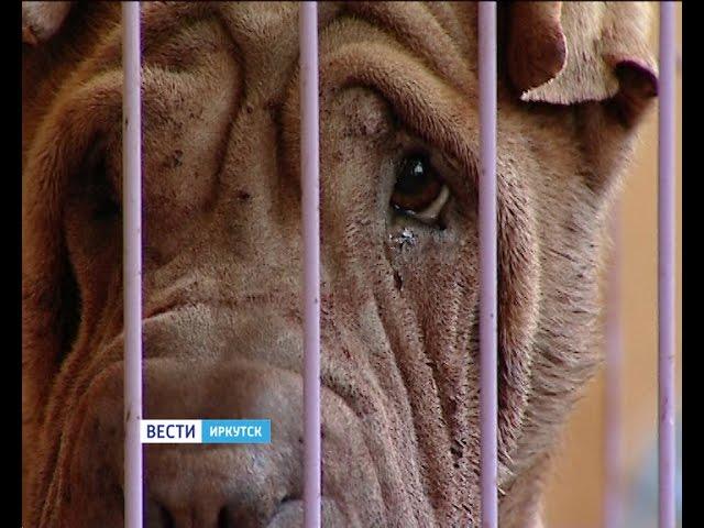 """Собака породы шарпей напала на хозяина в Иркутске. Мужчина умер от потери крови, """"Вести-Иркутск"""""""