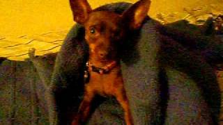 Fiona The Miniature Pinscher Minpin Instantly Grows Ears!