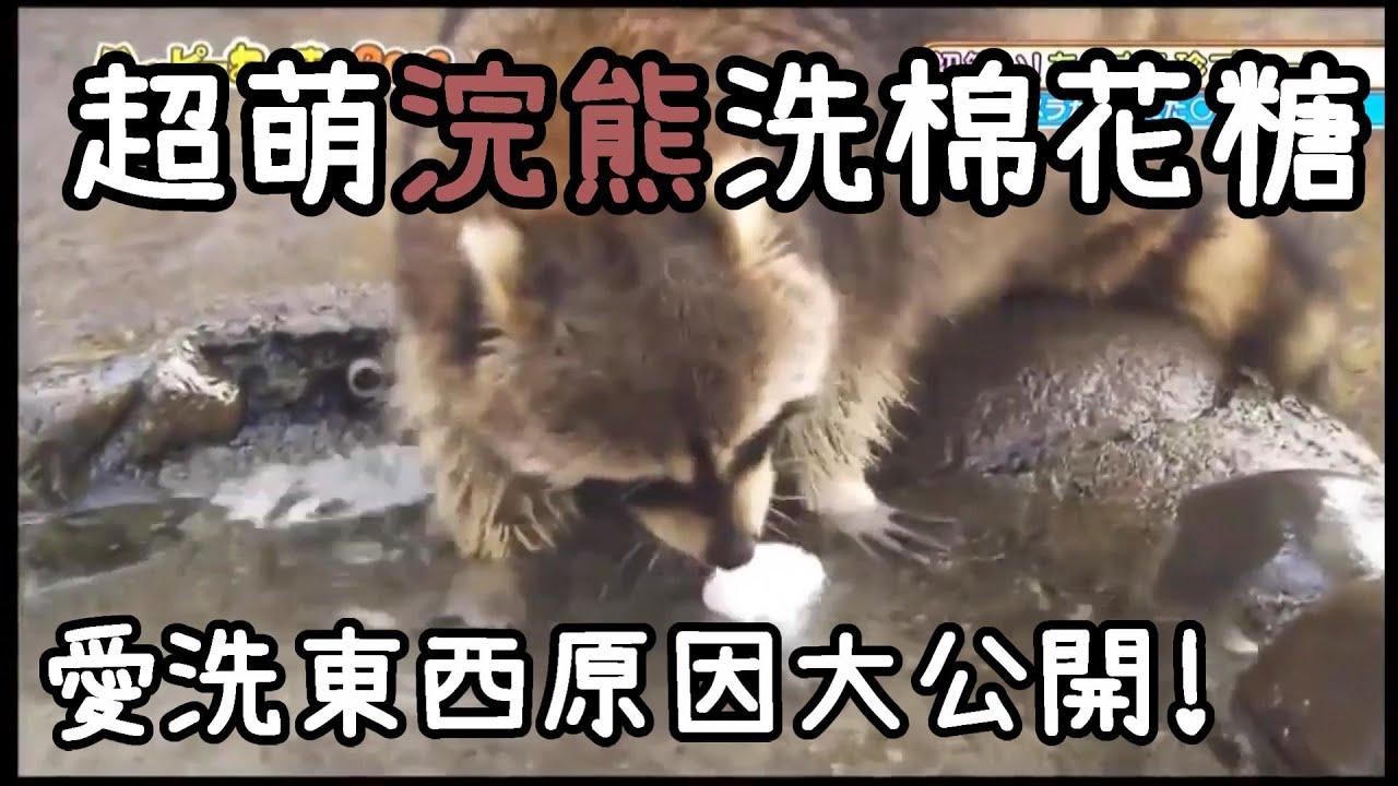 【為什麼浣熊愛洗東西?!】超萌浣熊洗棉花糖---原來臺灣也有浣熊咖啡廳 - YouTube