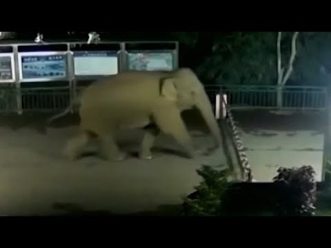 Wild elephant parades through Chinese border into Laos as helpless officials watch
