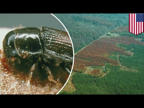 Climate change: Southern pine beetles spread to northern U.S. and southern Canada - TomoNews