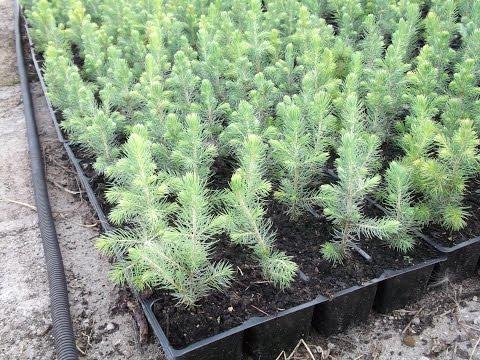 Как посадить голубую ель из шишки