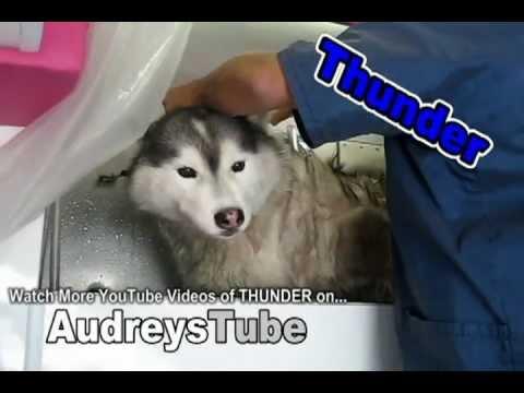Cry Baby Husky Bath Time Youtube