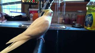 This Will Make Your Cockatiel Sing