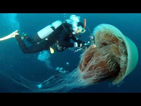 Giant Jellyfish In The World