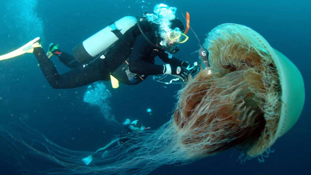 Aninimal Book: giant jellyfish in the world - YouTube