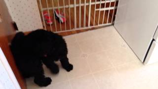 Breagha The Standard Poodle Puppy Chases Her Tail