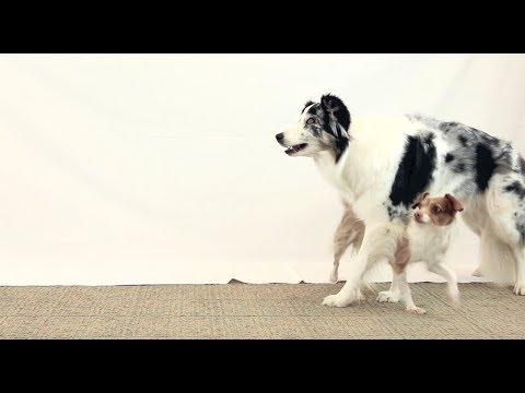 How Emily taught this amazing double dog trick! Clicker dog training