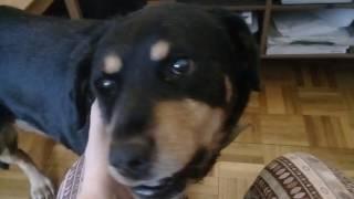 Мой Пес Дюк, и почему лучше взять собаку, уже обученную приютскими волонтерами..